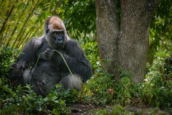 Male Silverback Gorilla holding grass