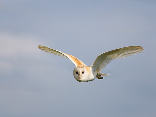 Barn Owl-early morning