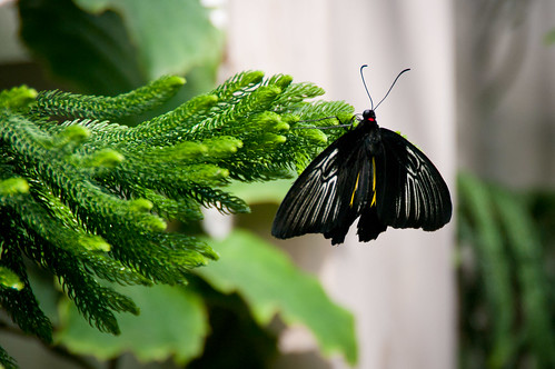 Small troides butterfly