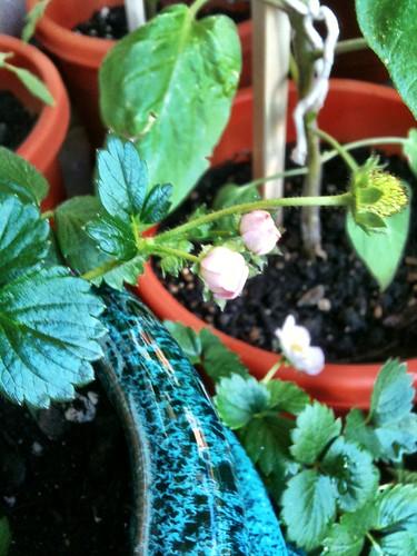 galore pink strawberry plants