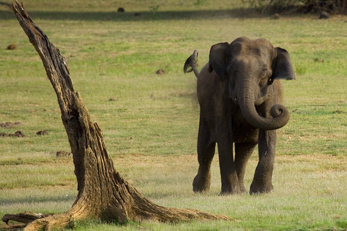 Charging Elephant @ Kabini Forest