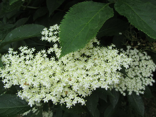 Elderflowers on the tree