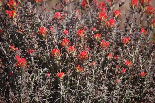 Indian Paintbrush (Castilleja affinis)