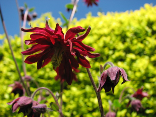 red aquilegia