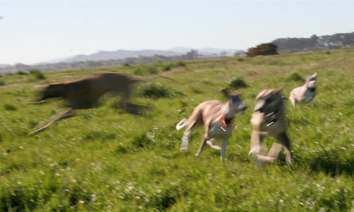 20 April 2012 Sighthound blur
