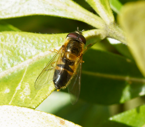 Hoverfly (Eristalis sp.?)