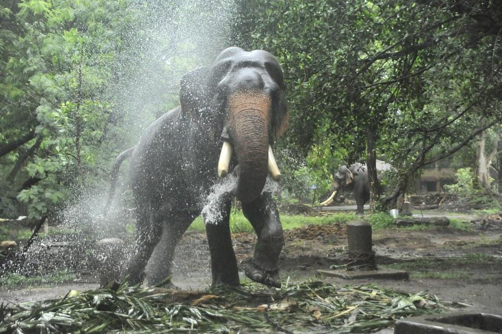 With the magic comes the frolic ...Guruvayur, Kerala, India