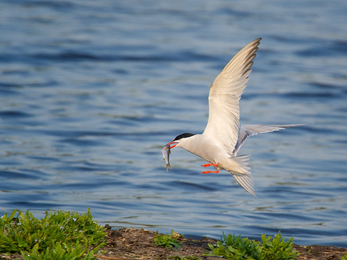 Common-Tern with fish_2