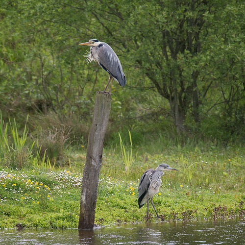 Grey Herons-in the rain