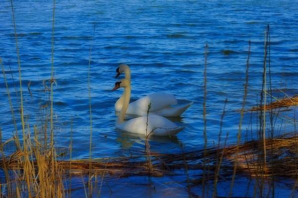 Un couple de Cygne sur le lac de marcenay - Cygnus olor - Cygne tuberculé