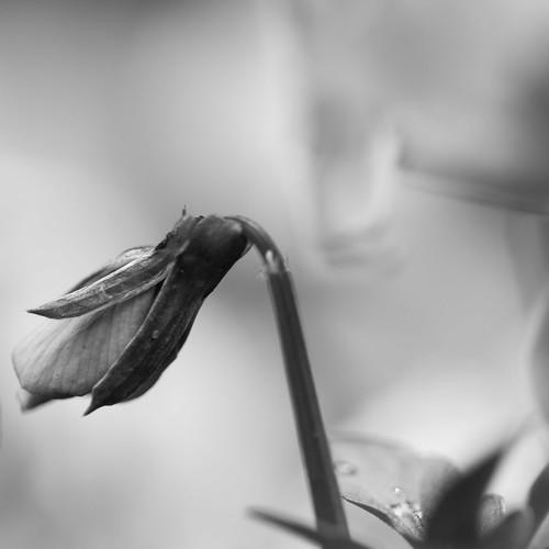 b/w flower 2