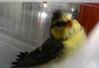 Vogeltje, gij zijt gevangen