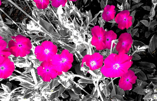 Pink Flowers by damn_que_mala