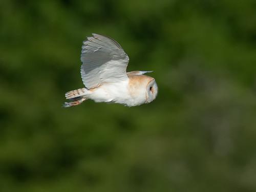 Barn Owl in flight-profile
