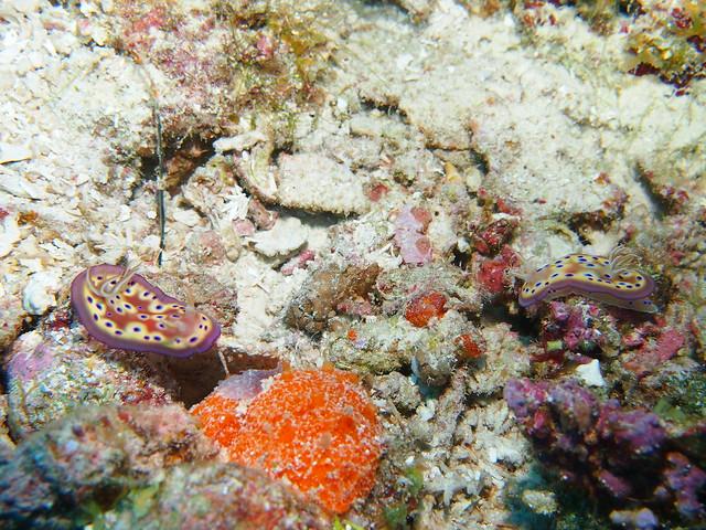 Wakatobi: Nudibranchs (5/6)