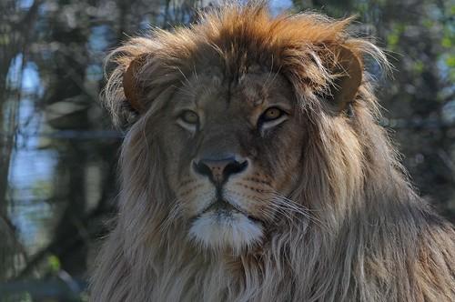 Afrikanischer Löwe Leo im Zoo in der Wingst