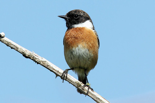 Stonechat by Edwyn Anderton, on Flickr