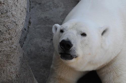 Eisbär Vitus im Zoo Budapest