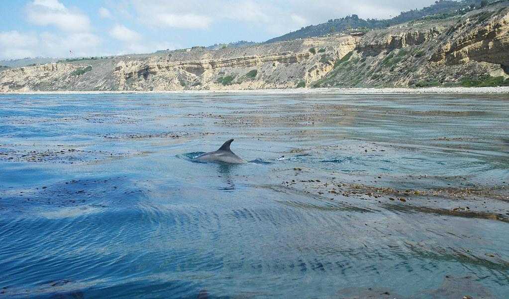 bootlenose dolphin fin in kelp