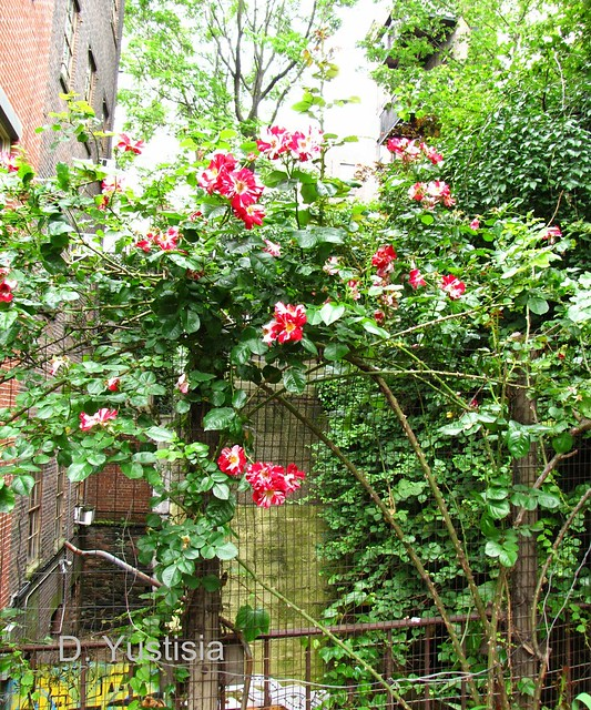 Climbing roses at Fishbridge Garden