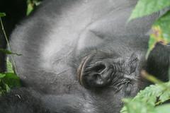 Gorilla trekking, Bwindi - IMG_5423