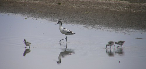 Avocet parent and chicks III