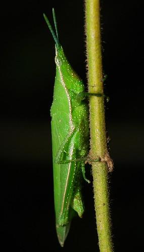 Vegetable Grasshopper (Atractomorpha sinensis)