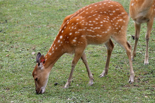 Vietnamese Sika Deer