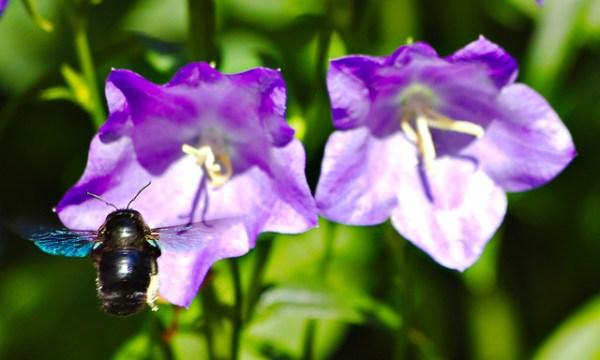 Abeille charpentière – xylocopa violacea