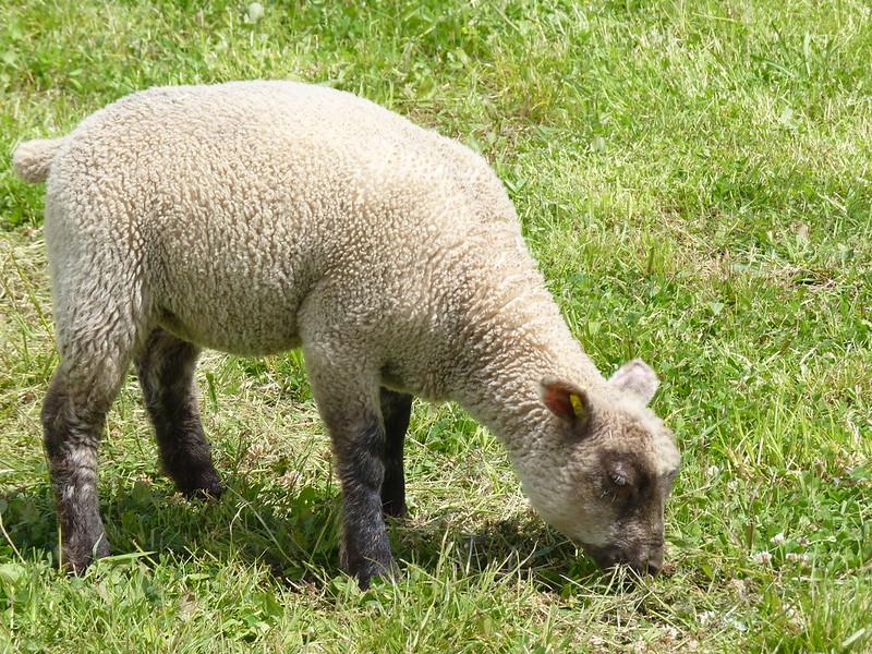 Callow Farm - lamb