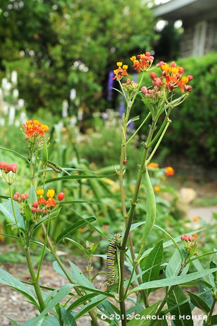 Milkweed with monarch caterpillars