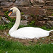 Nesting Swan.