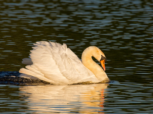 Mute Swan-at sunset