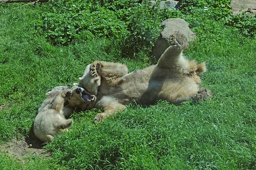 Eisbärin Huggies mit ihrem Nachwuchs im Ouwehands Dierenpark in Rhenen