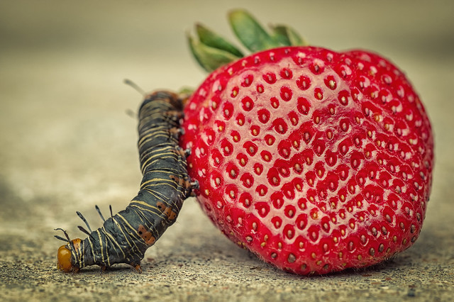 Caterpillar & Strawberry