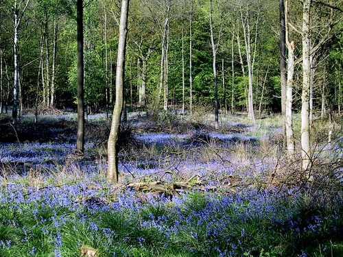 Bluebell Woods by Webminkette