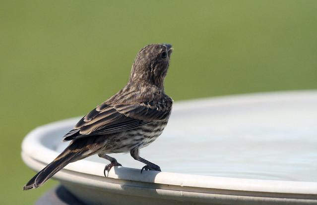 Finch on the birdbath