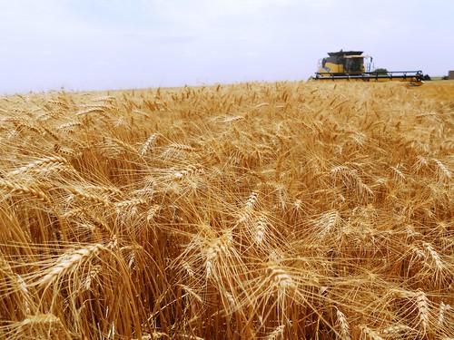 Cutting wheat near Carmen