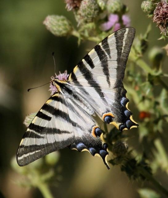 2012_06_12 PIC - Scarce Swallowtail (Iphiclides podalirius feisthamelii) 01