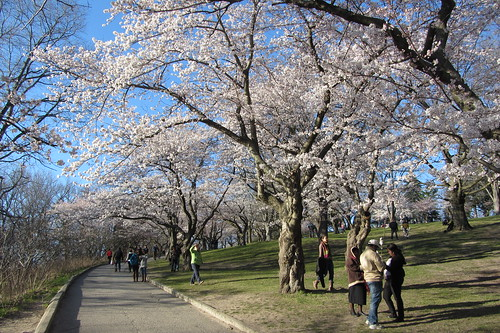 High Park cherry blossoms