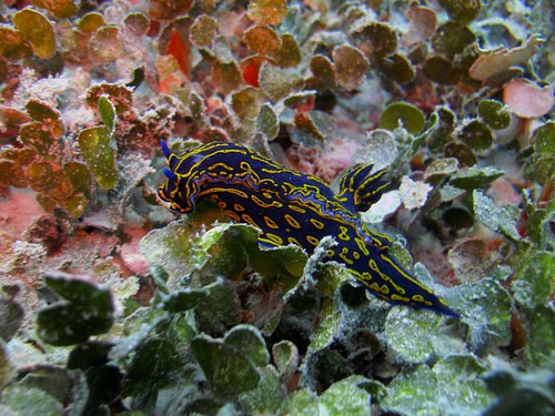 Florida Regal Sea Goddess (Hypselodoris edenticulata)