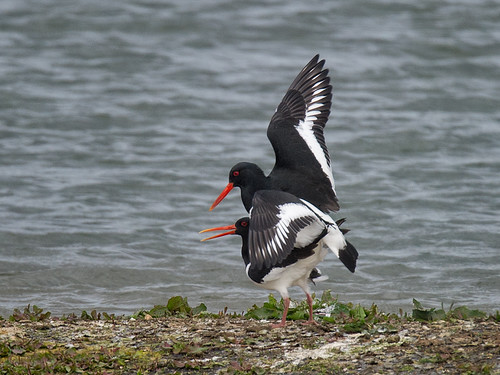 Oystercatchers-mating