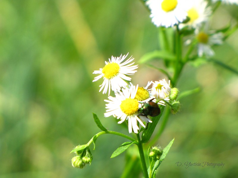A Beetle on Aster
