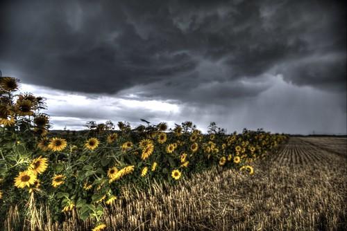 Sonnenblumen Uedorf | hdr tonemapped creative