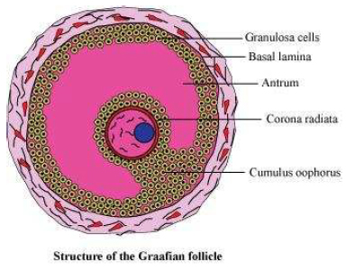 NCERT Solutions Class 12 Biology Chapter 3: Human Reproduction Graafian follicle
