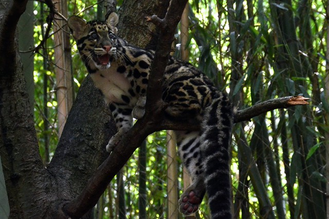 Happy Clouded Leopard