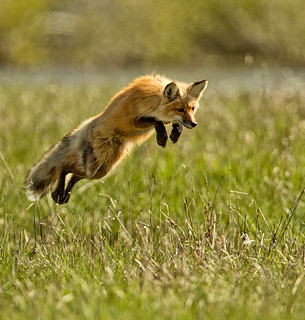 Leaping for Prey - by Gerald Wilders