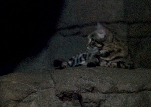 Black Footed Cat Lounging
