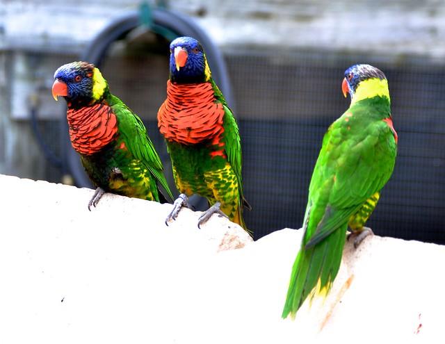 Colorful Lorikeets