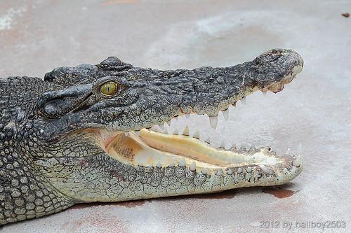 Krokodile (Crocodilia) by hellboy2503